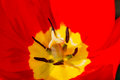 Pistil and stamen tulip the macro flower background Stock Photos