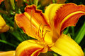 Pistil and stamens of the flower yellow orange lilies in garden Royalty Free Stock Image
