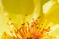 The pistil in yellow flower closeup of of flowers Royalty Free Stock Photos