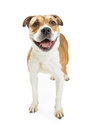 Pit Bull Crossbreed Dog Happy Expression Royalty Free Stock Photo