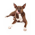 Pit bull crossbreed licking lips mixed breed dog with tongue out after eating a treat Royalty Free Stock Photos