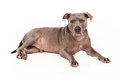 Pit bull dog blue a beautiful coated laying down and looking at the camera Royalty Free Stock Image
