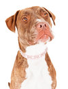 Pit Bull Dog Close-up Stock Image