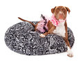 Pit Bull Dog Dressed in Pink Stock Photos