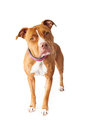Pit bull dog standing and looking at the camera with head tilted Royalty Free Stock Image