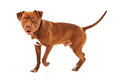 Pit bull dog walking against a white background Royalty Free Stock Images