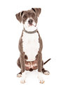 Pit bull mixed breed dog a beautiful that is mainly sitting against a white background with a sad look Stock Images