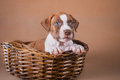 Pit bull puppy sweet Royalty Free Stock Photo