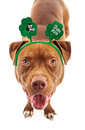 Pit bull wearing st patricks headband a happy dog a patrick s day with clovers on them Royalty Free Stock Images