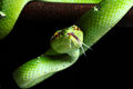 Pit  viper Royalty Free Stock Photography