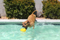 Pitbull diving for his toy in pool a brown jumping off the side of the swimming caught grabbing Stock Photography