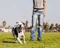 Pitbull dog looking up running its owner standing close Stock Image