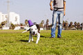 Pitbull dog running its chew toy its owner standing close Stock Photos