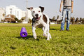 Pitbull dog running its chew toy its owner standing close Royalty Free Stock Images