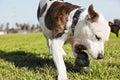 Pitbull Grabbinbg Dog Chew Toy on Park Grass Royalty Free Stock Photo