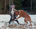 Pitbull play fighting with o e bulldog red pit bull blue brindle olde english in the snow Royalty Free Stock Photography