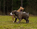 Pitbull play fighting with olde english bulldog red blue brindle on a green summer field Royalty Free Stock Photos