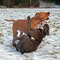 Pitbull play fighting with olde english bulldog red blue brindle in the snow Royalty Free Stock Photo