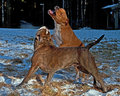 Pitbull play fighting with olde english bulldog red blue brindle in the snow Royalty Free Stock Photos