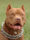 Pitbull portrait Stock Photo