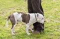 Pitbull terrier dog in the green park