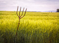Pitch fork in wheat field rustic wooden full of Royalty Free Stock Photography