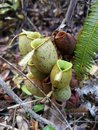 Pitcher plant grows in Borneo Malaysia Royalty Free Stock Photo