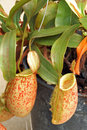 Pitcher Plant Nepenthes Truncata Royalty Free Stock Photo
