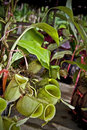 Pitcher Plant for Sale Royalty Free Stock Photo