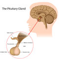 The pituitary gland Royalty Free Stock Photos