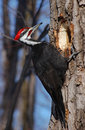 Pivert de Pileated Images libres de droits