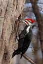Pivert de Pileated Photo libre de droits