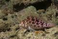 Pixie hawkfish