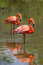 Pájaros rosados del flamenco Imagen de archivo