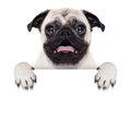Placard banner dog pug behind blank white or with open mouth surprised Royalty Free Stock Images