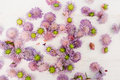Placer of purple asters on white background florist workplace Royalty Free Stock Images