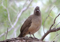 Plain chachalaca ortalis vetula perched on branch of mesquite tree in a chaparral thickets of world birding center bensten rio Royalty Free Stock Photos