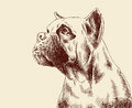 Plain fawn boxer dog hand made drawing Royalty Free Stock Photography