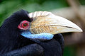 Plain pouched hornbill a female head profile Stock Photo
