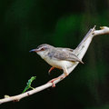 Plain prinia beautiful bird inornata standing on a branch back profile Stock Image
