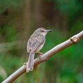 Plain prinia beautiful brown bird inornata standing on a branch back profile Stock Photography