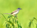 Plain prinia brid wren on rice island Stock Photography