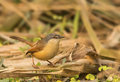 Plain prinia prinia inornata a in jungle Stock Photography