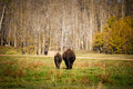 Plains Bison Royalty Free Stock Photography