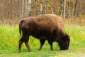 Plains Bison Royalty Free Stock Photo