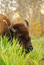 Plains Bison Stock Photo