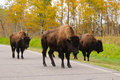 Plains Bison Royalty Free Stock Image