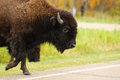 Plains Bison Royalty Free Stock Images