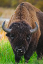 Plains Bison Stock Photography