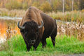 Plains Bison Royalty Free Stock Photos